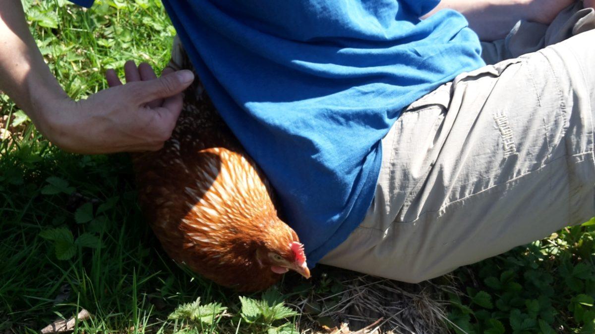 Hilde ist zumindest im Freien ein echtes Kuschel-Huhn.